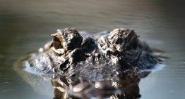 OdySea Aquarium to Welcome Mighty Mike, America's Biggest Alligator