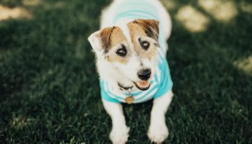 Jesse the Jack Russell: Top Dog 2017
