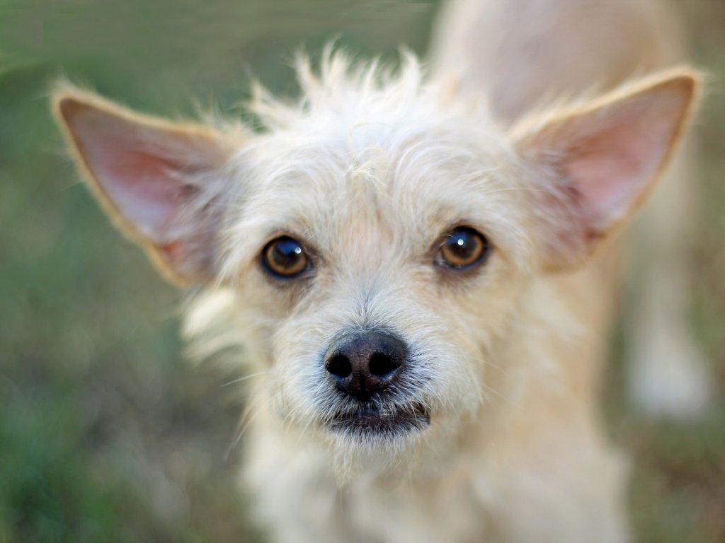 Cairn terrier yorkie mix in addition westie mix source galleryhip jack