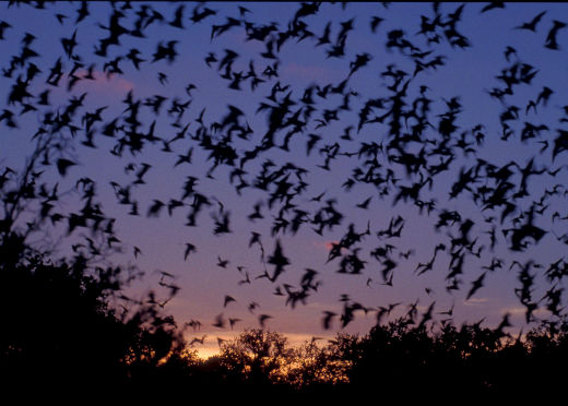 mexican free tailed bats-flying