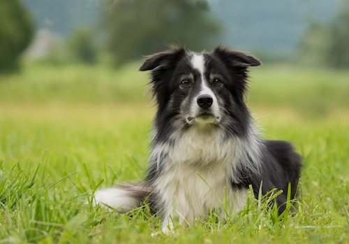 border-collie-2184706_1920_1.jpg