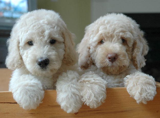 PHOTO 1 Goldendoodles