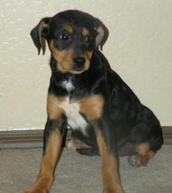 Shepherd Dachshund Mix