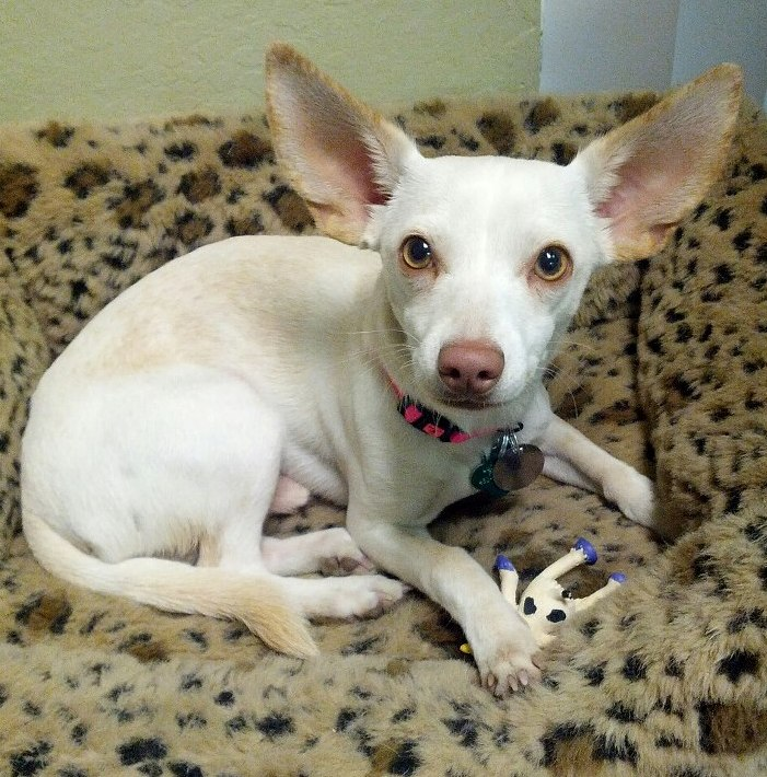 Boston Terrier Chihuahua Mix. A Boston Terrier Chihuahua Mix ...