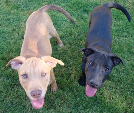 ... mix puppies. Their Mom is a German shepherd mix and dad is a purebred