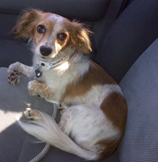 Long Haired Dachshund Chihuahua Mix