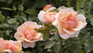 Monrovia® Introduces 2021  New Landscape Varieties