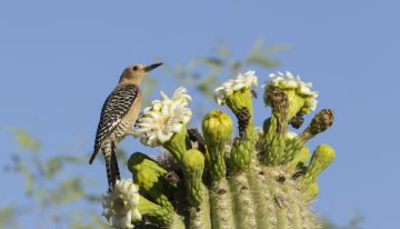 Birding in Arizona 101