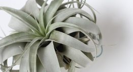 Air Plants: The Curious Low-Maintenance House Plant