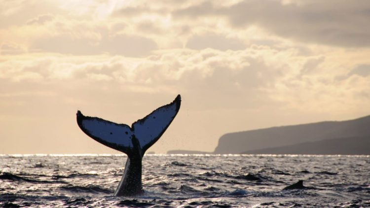 BGX48B Humpback whale does a headstand at sunset with Lanai, Hawaii in the background.