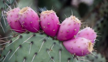 Harvest Prickly Pear at Tucson's Tanque Verde Ranch