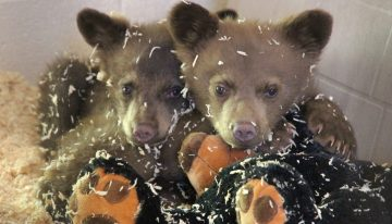 Bearizona Celebrating National Black Bear Day and Anniversary of Cubs' Rescue
