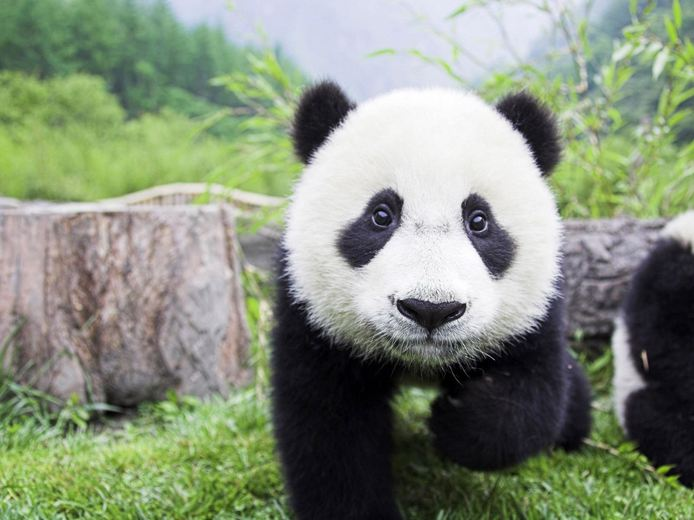 adorable-panda.jpg.694x520_default